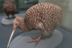 Auckland Museum - Kiwi