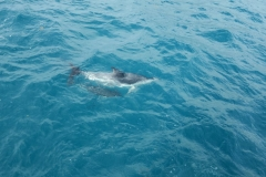 Whale Watch-Delfin mit jungem