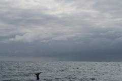 Whale Watch - abtauchender Wal-2