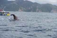 Whale Watch - abtauchender Wal von der Seite