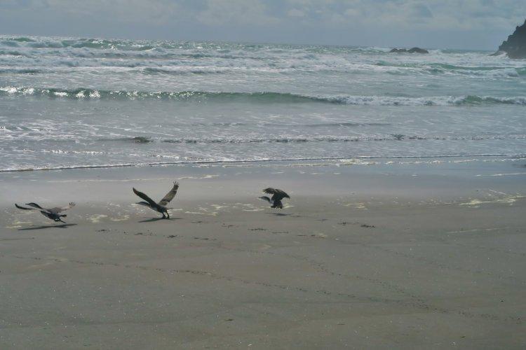 Vögel-am-Strand-Flugstudie