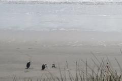 Vögel-am-Strand