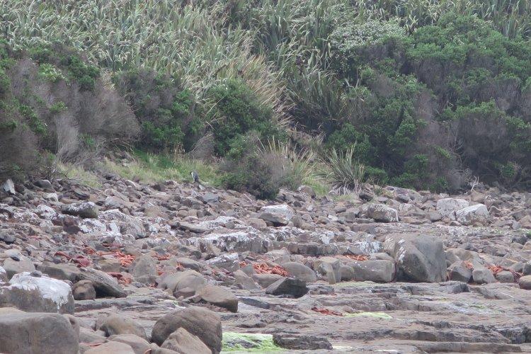 Curio Bay - Pinguin-3