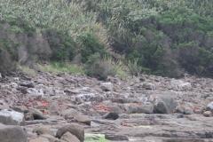 Curio Bay - Pinguin-2