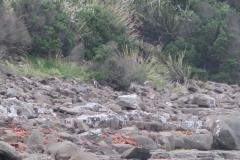 Curio Bay - Pinguin