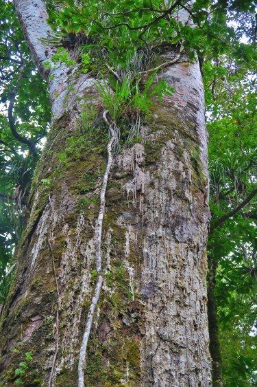 Kauri - Detail