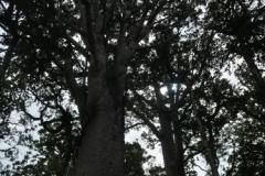 Kauri Kronen
